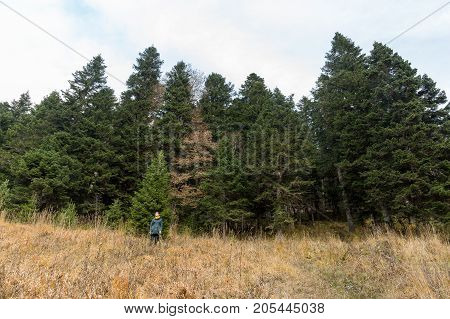 nature, hiking, fashion concept. in front of forest composed of great fuzzy spruces there is small figure of highly fashionable woman, standing on the edge of field and forest