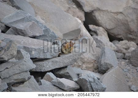 golden mantled ground squirre in crater lake national park, oregon