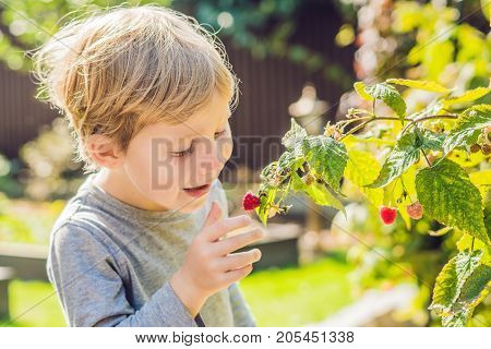 Child Picking Raspberry. Kids Pick Fresh Fruit On Organic Raspberries Farm. Children Gardening And H