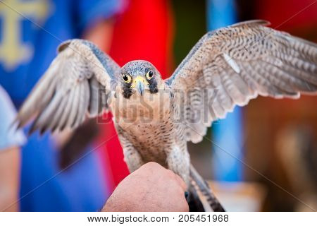 Peregrine Falcon Bird of prey with open wings