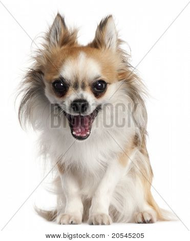 Chihuahua, 18 months old, yawning in front of white background
