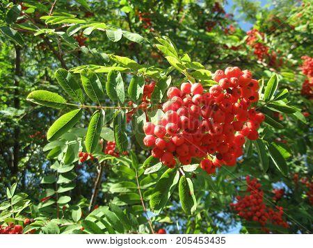 orange berries of mountain ash in the sun