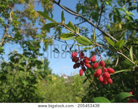 the fruits of barberry hung on a branch
