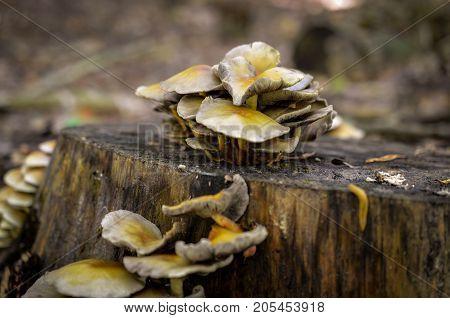 mushrooms growing on treestump in autumn forest