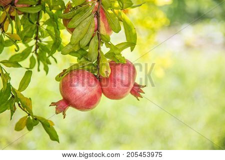 Ripe colorful pomegranate fruits on tree branch with green blurry background during nice summer day