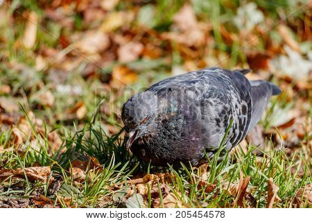 Wild Pigeon In The Green Grass On The Background Of Fallen Leaves