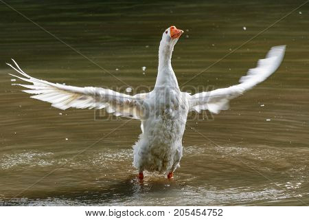 Wild Goose Splashing In The Lake On A Warm Autumn Day