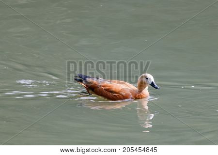 Ruddy Shelduck Floating On The Lake On A Sunny Day