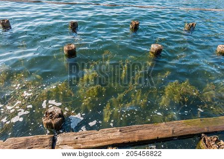 Plants grow up near old pilings at Gene Coulon Park in Renton Washington.