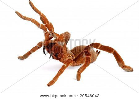 King Baboon Tarantula (citharischius Crawshayi)