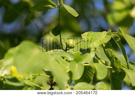 young branches of the walnut . In the park in nature