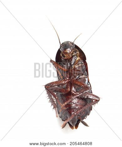 cockroach on white background . Photos from the studio