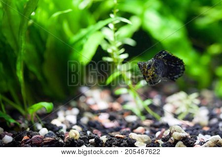 Black with speckles of gold Balloon Belly Molly in planted tropical aquarium shallow DOF
