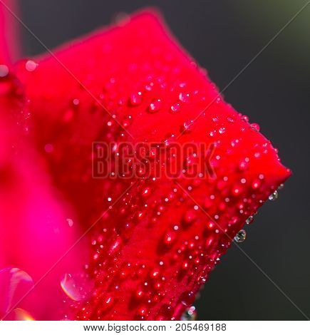 water droplets on a red rose . In the park in nature
