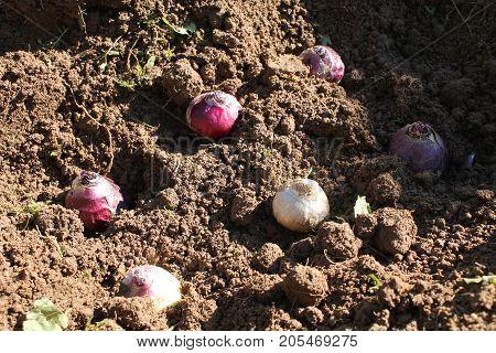 Hyacinth bulbs planting. Bulbs of hyacinth on garden soil