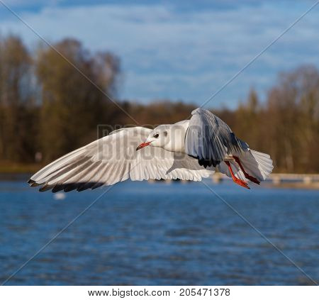 Close-up of a beautiful flying Seagull at the Lake. View on a flying Seabird with outspread Wings in front of a Forest. Gulls at the Lake. Nature and Wildlife Background