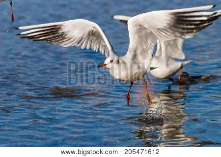 Close-up of a beautiful flying Seagull at the Lake. View on a flying Seabird with outspread Wings. Gulls at the Lake. Nature and Wildlife Background
