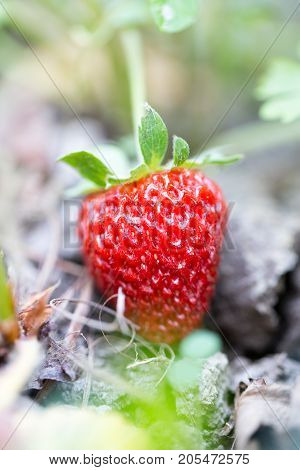 strawberry in nature . In the park in nature