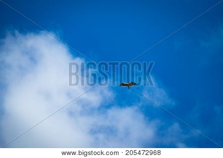 Eagle flying free above in the clouds with a clear blue sky behind