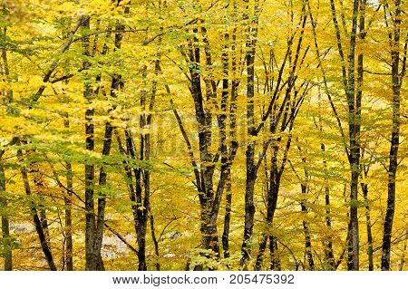 weather, season, background concept. the light breaks through thic forest that covered foliage of bright yellow shade and all of them are shinning like gold in rays of autumn sun