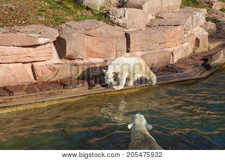 Polar bear with cub in Nuremberg zoo.