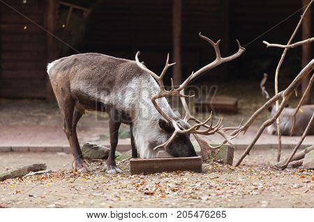 Large male reindeer in Nuremberg zoo, Germany.