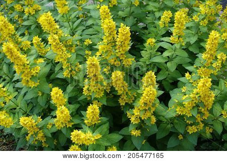 Erect Panicles Of Conspicuous Yellow Flowers Of Loosestrife
