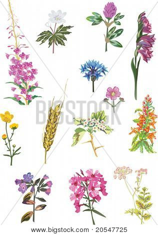 illustration with wild herbs isolated on white background