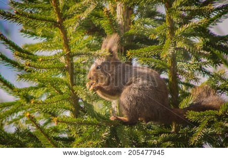 Squirrel sitting down in a spurce tree