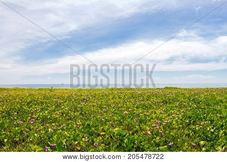 Morning glory flowers and leaves on the beach and sea background