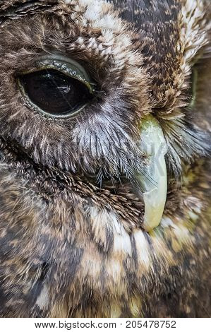 Very close image of the beak and eye od a woodford owl in upright vertical format