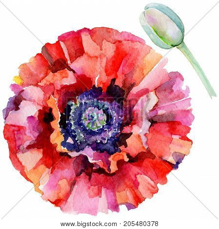 Wildflower poppy flower in a watercolor style isolated. Full name of the plant: red poppy. Aquarelle wild flower for background, texture, wrapper pattern, frame or border.