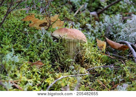 Boletus. Mushroom. Edible mushroom. A large mushroom. A beautiful mushroom in the forest. Mushroom in the moss.