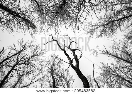 Branches of tree tops textured winter forest black white background