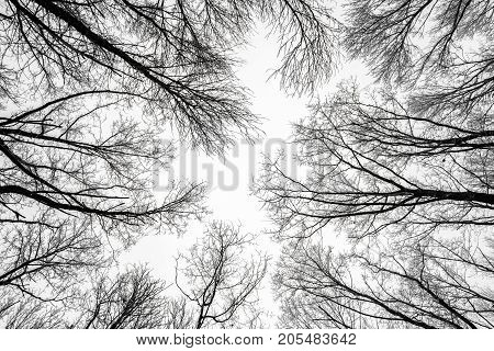Branches of tree tops textured winter forest background black and white