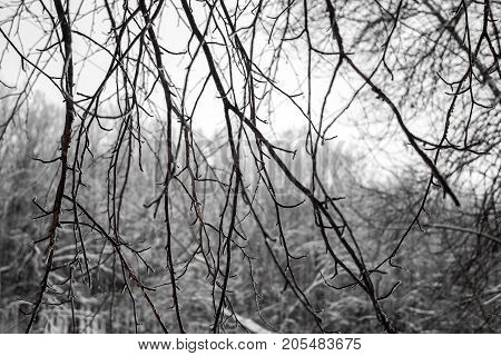 Branches of tree tops textured winter forest black background