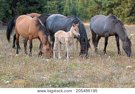 Wild Horses - Baby colt (dun coloring) with mother and herd (band) in the Pryor Mountains Wild Horse Range on the border of Montana and Wyoming United States