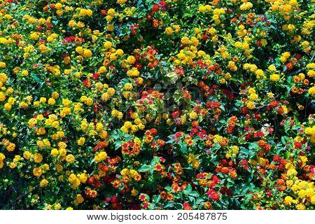 natural color background from a set of small yellow and red flowers and green foliage on branches of bushes