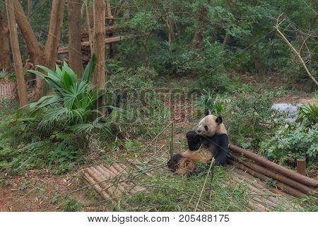Giant panda eating bamboo in China closeup