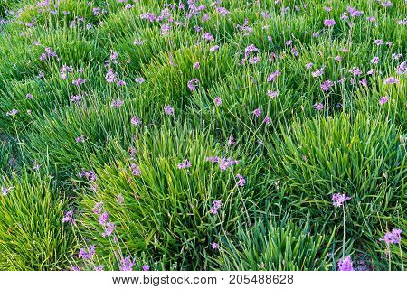 small flowers of violet color and magnificent green grass for a natural background