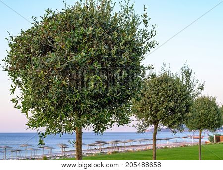 big abstract trees with magnificent green leaves are located a row on a lawn of the sea beach