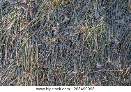 Frozen grass with ice crystals in winter close-up