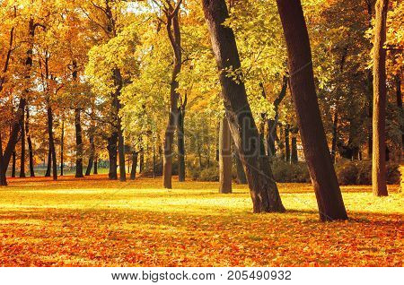Fall landscape. Fall trees in the park in sunny fall weather. Sunny fall landscape view of fall park with golden fall trees and fallen fall leaves on the ground