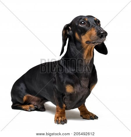 A dog (puppy) of the dachshund breed black and tan on isolated on white background