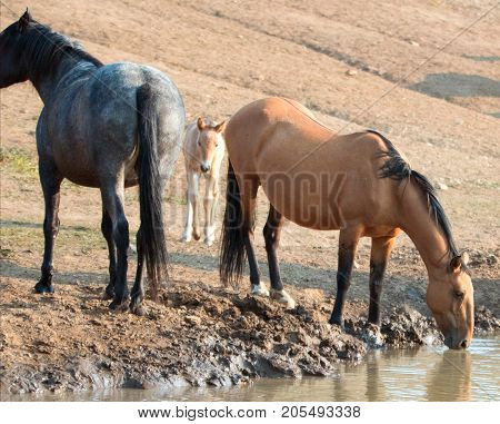 Wild Horses - Baby foal colt (dun coloring) with mother and herd (band) at the watering hole in the Pryor Mountains Wild Horse Range on the border of Montana and Wyoming United States