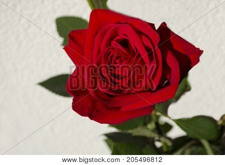 beautiful red flower of a fragrant rose close-up on a light background