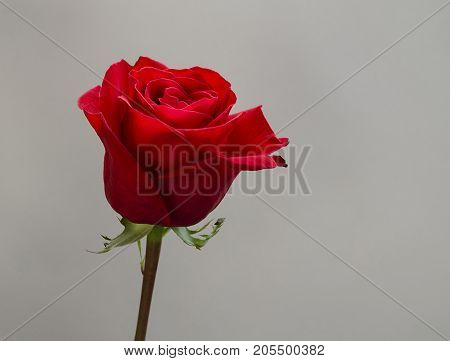 beautiful red flower of a fragrant rose close-up on a gray background