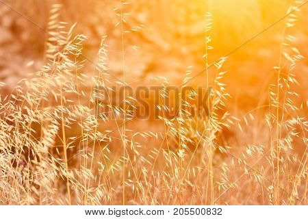 Beautiful Meadow Field with Dry Tender Plant Oats Golden Sun Flare Warm Light Fall Summer Spring Tranquility Inspirational Copy Space
