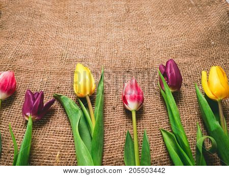 Tulips for birthday, greeting card. Multicolored lie on sacking
