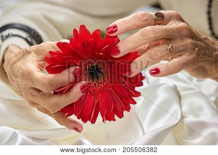 Female hands holding gerbera flower.Senior woman hands with red perfect manicure holding peach color gerbera. Woman beauty and care.